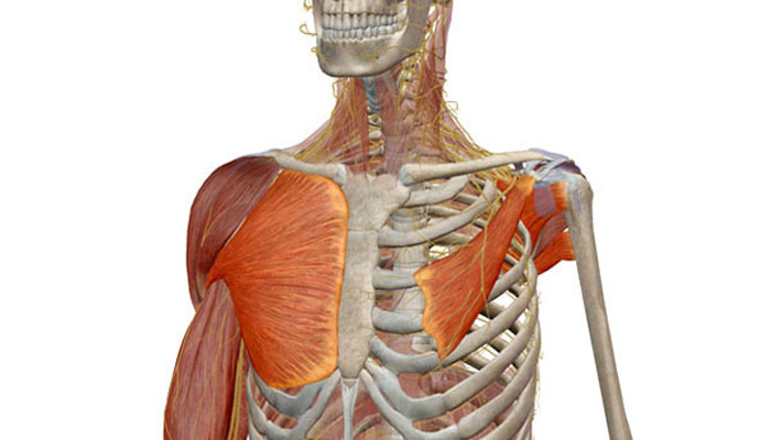 The Chest: Anatomy, exercises and injury prevention | Prozis